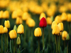 37_tulips_beautiful_flowers_desktopwallpaper_l